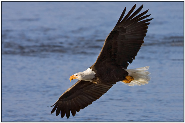 bald-eagle-flying